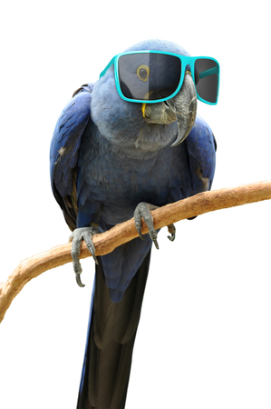 ritzy: Funny animal portrait of a blue parrot with oversized sunglasses
