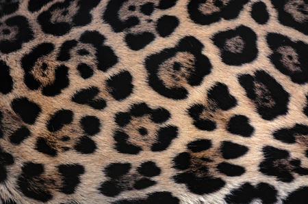 fur: Jaguar fur texture background with beautiful spotted camouflage