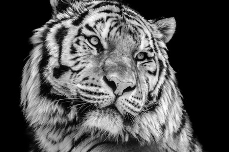 contrast: Powerful high contrast black and white tiger face