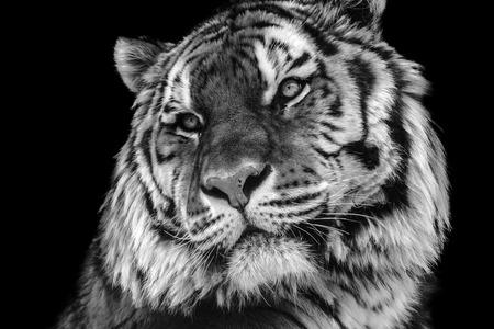 tigre blanc: contraste audacieux visage de tigre noir et blanc, gros plan