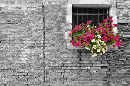 Black and white of old brick wall in Italy with selective focus on petunia flowers in the window Stock Photo