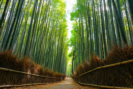 Beautiful scene in the Arashiyama bamboo forest with morning sunlight filtering through the stalks
