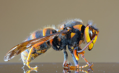 poisonous insect: Japanese giant hornet closeup macro, also called giant sparrow bee