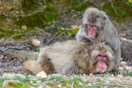 wild asia: Japanese macaque monkeys engaged in social grooming