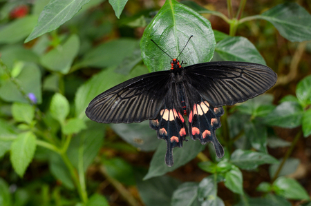 rose butterfly: Pachliopta aristolochiae interpositus, also known as common rose butterfly or red-bodied swallowtail