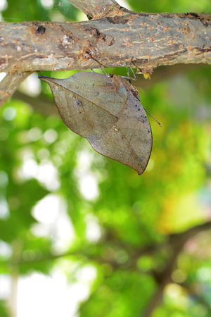 Kallima inachus butterfly with incredible evolutionary camouflage, also known as orange oakleaf or dead leaf Stock Photo