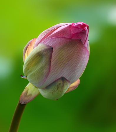 nelumbo: Pink flower bud of nelumbo nucifera, also known as the Indian or sacred lotus Stock Photo
