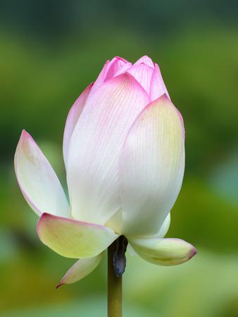 nelumbo: Pink nelumbo nucifera flower closeup, also known as the sacred or Indian lotus