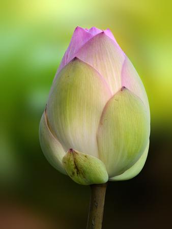 nelumbo: Closeup of a closed flower bud of nelumbo nucifera, also called Indian or sacred lotus Stock Photo