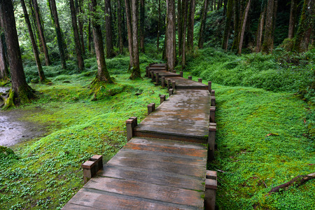 Boardwalk through peaceful mossy forest at Alishan National Scenic Area in Chiayi District, Taiwan Stok Fotoğraf - 64982366