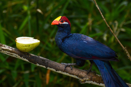 Violet turaco, also called violaceous plantain eater, or scientific name Musophaga violacea Stock Photo