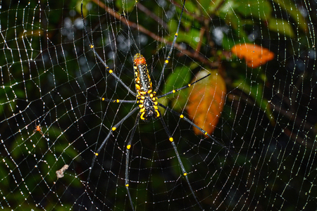 araneae: Closeup of female giant golden orb weaver spider hanging on web, scientific name Nephila pilipes
