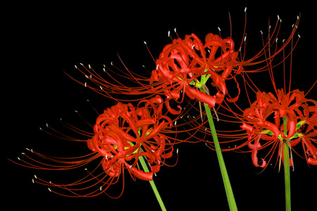lily flowers: Beautiful red spider lily flowers, or Lycoris radiata, isolated on black background Stock Photo