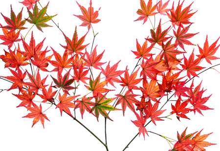 Bright red autumn Japanese maple leaves, or Acer palmatum, isolated over a white background Stock Photo