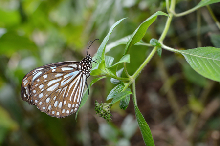 blue spotted: Liuchiou blue spotted milkweed butterfly, scientific name Radena similis similis Stock Photo