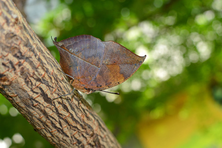 scientifically: Orange oakleaf butterfly with oak leaf camouflage adaptation, known scientifically as Kallima inachus Stock Photo