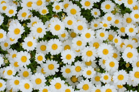 daisies: White daisies flower background