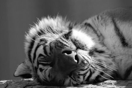 catnap: Black and white face of an adult tiger sleeping peacefully