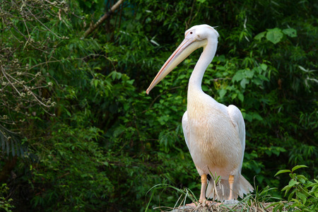Bird portrait of a Great white pelican, scientific name Pelecanus onocrotalus Stock Photo
