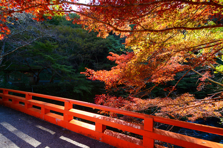 Traditional red bridge and colorful autumn maples in Kyoto, Japan