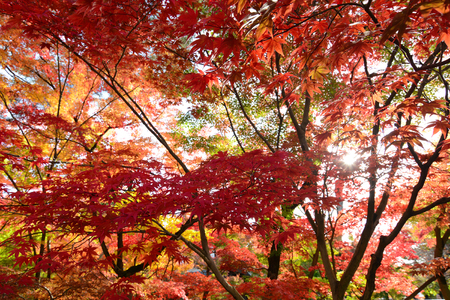 Colorful fall nature background of red autumn maple leaves with sunshine filtering through Stock Photo