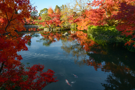 tranquillity: Beautiful Japanese pond garden with autumn maple tree reflections and colorful fish