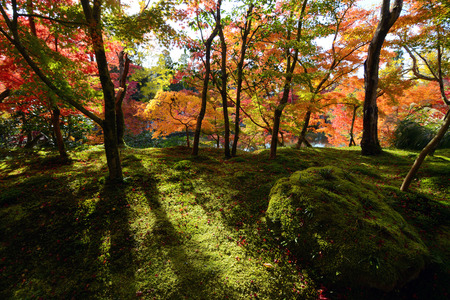 acer palmatum: Autumn sunlight beaming through a fall forest of maples onto green moss Stock Photo