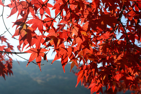 Red Japanese maple tree leaves displaying their best fall color