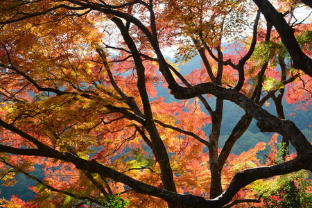 Autumn colored leaves and dark branches of maple trees in fall