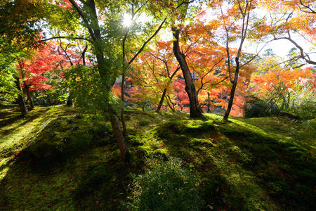 Moss forest warmed by rays of sunlight falling through a canopy of autumn colored maple trees Stock Photo