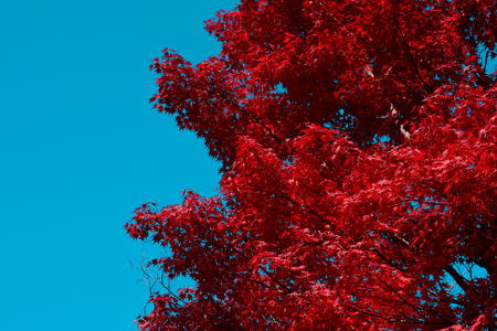Red Japanese maple tree fall background with blue sky copy space on left side Stock Photo