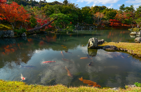 Colorful koi fish in a peaceful Japanese pond with fall foliage reflecting in the water