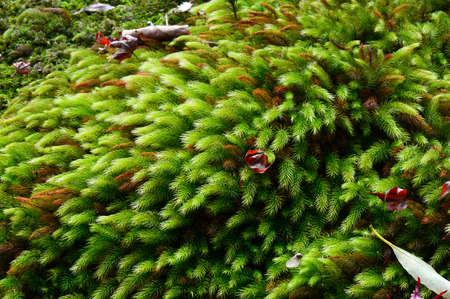 Detailed macro of tiny green moss plants forming a natural background texture
