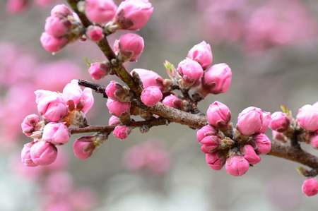 Pink cherry blossom buds almost ready to open for Japan's spring sakura season 스톡 콘텐츠