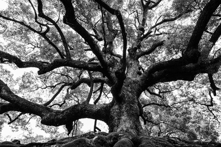 durable: Ancient oak tree with sturdy roots and mighty branches in high contrast black and white Stock Photo