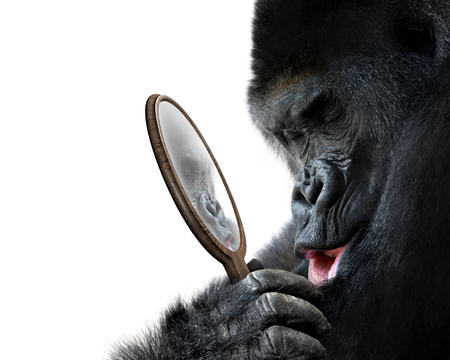 Curious gorilla looking at his handsome self reflection in mirror and smiling lovingly
