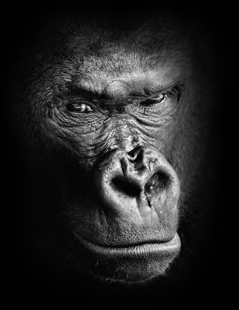 black shadows: Black and white high contrast animal portrait of a pensive gorilla face isolated in shadows Stock Photo