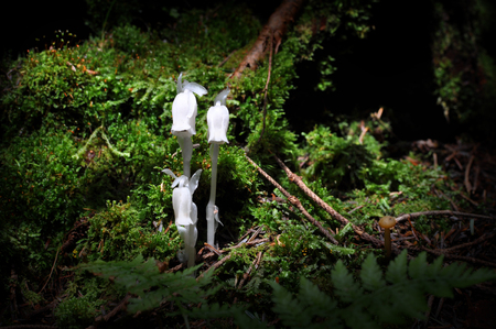 White flowers of monotropa uniflora, also known as ghost plant or Indian pipe