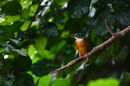 Female common kingfisher in the wild, known scientifically as Alcedo atthis Stock Photo
