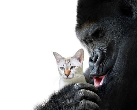 ほとんどの動物の友人瞬間、大きなゴリラと小さな猫の愛情のこもった抱擁 写真素材
