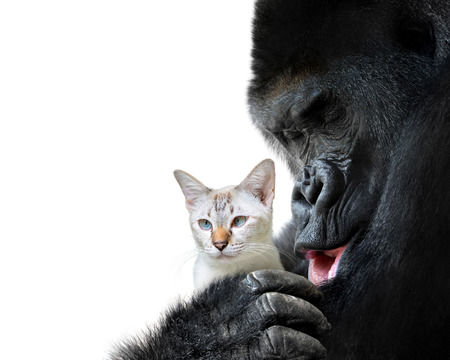 Unlikely animal friends moment, a loving hug between a big gorilla and a small cat