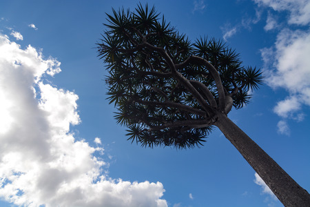 Young dragons blood tree, scientific name Dracaena draco, against a blue sky
