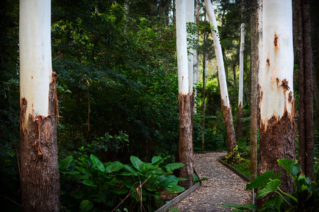 Peaceful pathway through a lush green Australian forest with tall white eucalyptus trees