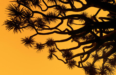 Silhouette of a dragons blood tree against an orange sunset sky Stock Photo
