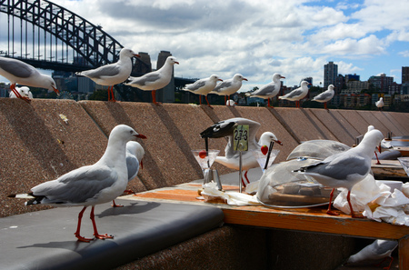 A hungry flock of seagulls moves in for food leftovers at a casual dining area along Sydney Harbor Stock Photo