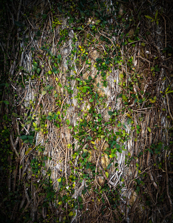 Natural vine covered wall background texture with vertical framing Stock fotó