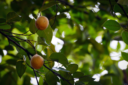 Fruits hanging on a fragrant nutmeg tree, scientific name Myristica fragrans Stockfoto