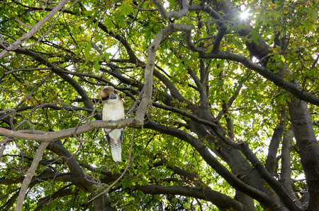 Laughing kookaburra, scientific name Dacelo novaeguineae, perched in a tree to watch for prey