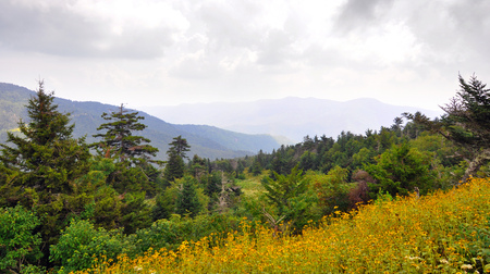 Wildflowers and spruce-fir forest landscape along Blue Ridge Parkway in the Appalachian Mountains