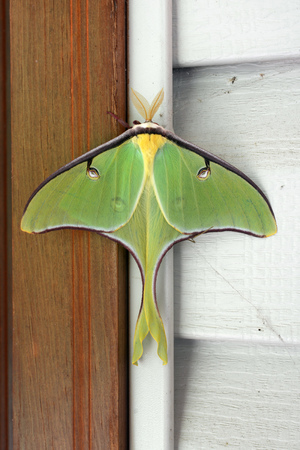 Close-up of a large luna moth, scientific name Actias luna